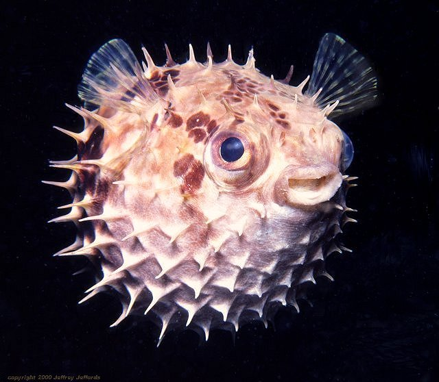 Puffernet>>>Anatomy and Physiology